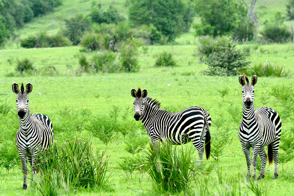 A group of zebra in Tanzania's Selous Game Reserve seen while on safari
