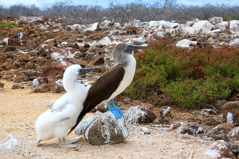 Blue-footed booby with its hatchling on North Seymour Island