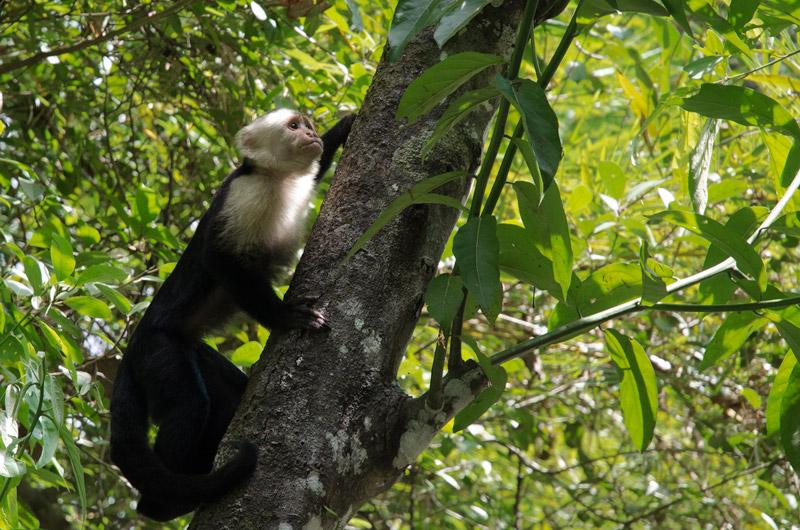 Capuchin Monkey in Manuel Antonio National Park