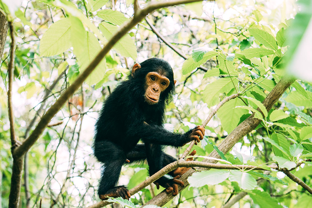 A young chimpanzee in the trees of Tanzania's Mahale Mountains National Park
