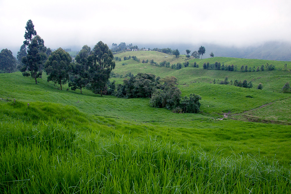 Coffee plantation in Pereira, a part of the Colombian Coffee Triangle