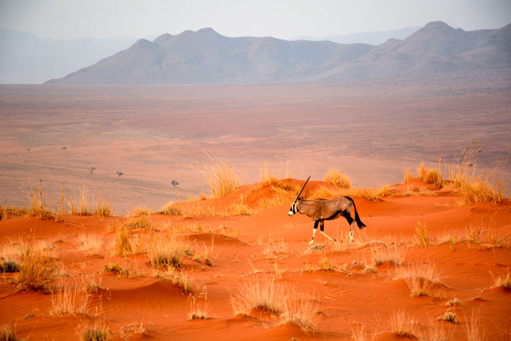 Oryx roaming the grounds of the NamibRand Nature Reserve