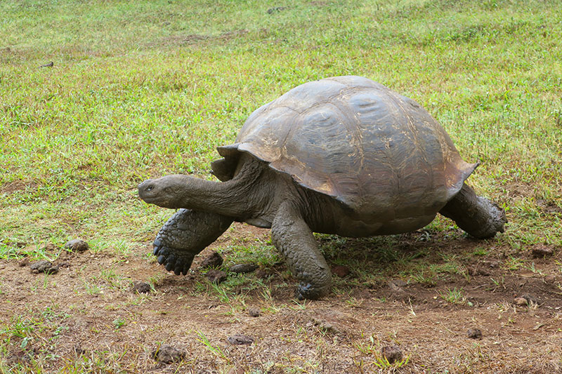 Galápagos giant tortoise at Rancho El Chato - Photo by Andrew Harper