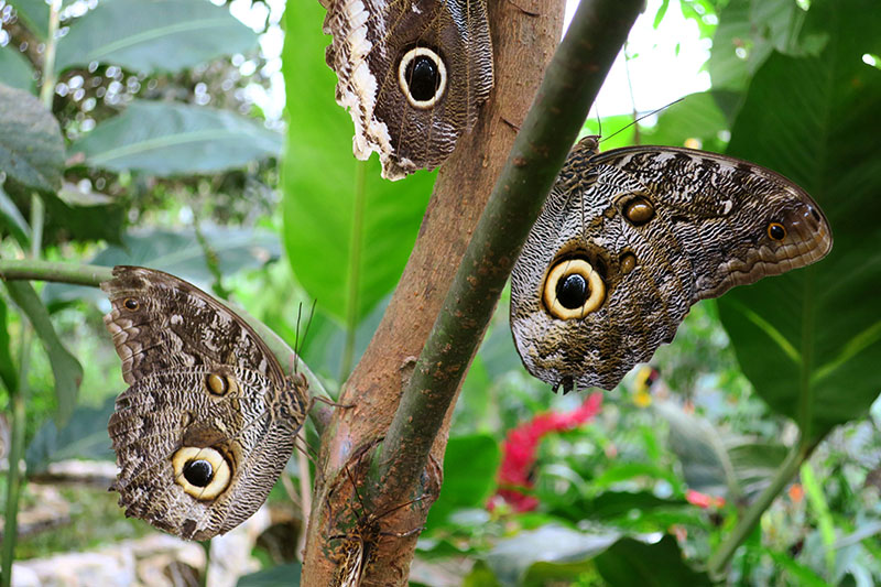 Yellow-edged giant owl butterflies in the Life Centre at Mashpi Lodge - Photo by Andrew Harper