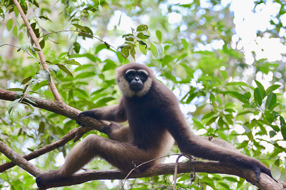 A white-bearded gibbon in Tanjung Puting National Park