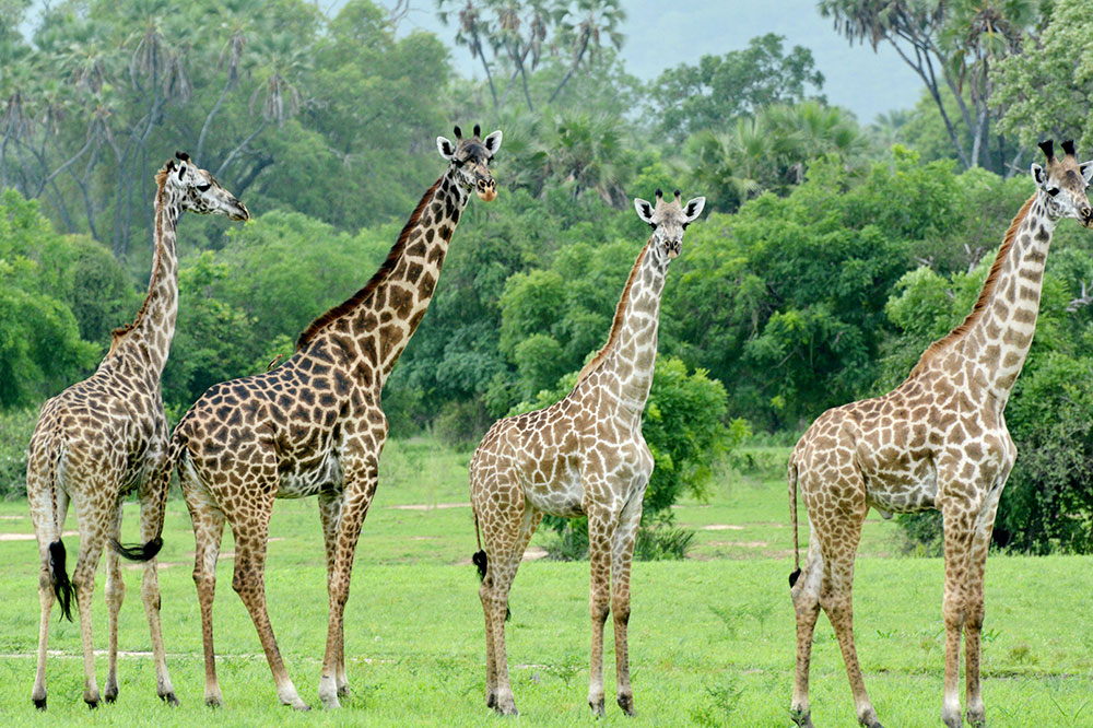 Giraffes in Tanzania's Selous Game Reserve seen on safari with Azura Selous