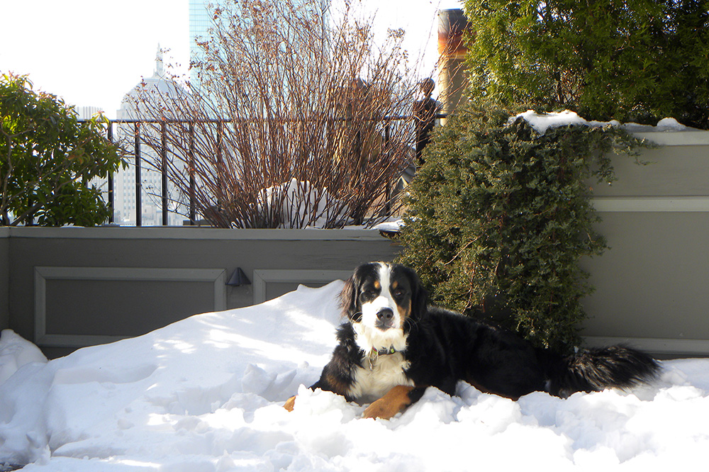 Resident Bernese mountain dog, Heidi, comforted guests and staff after the Boston Marathon bombings, at XV Beacon, in Boston, Massachusetts