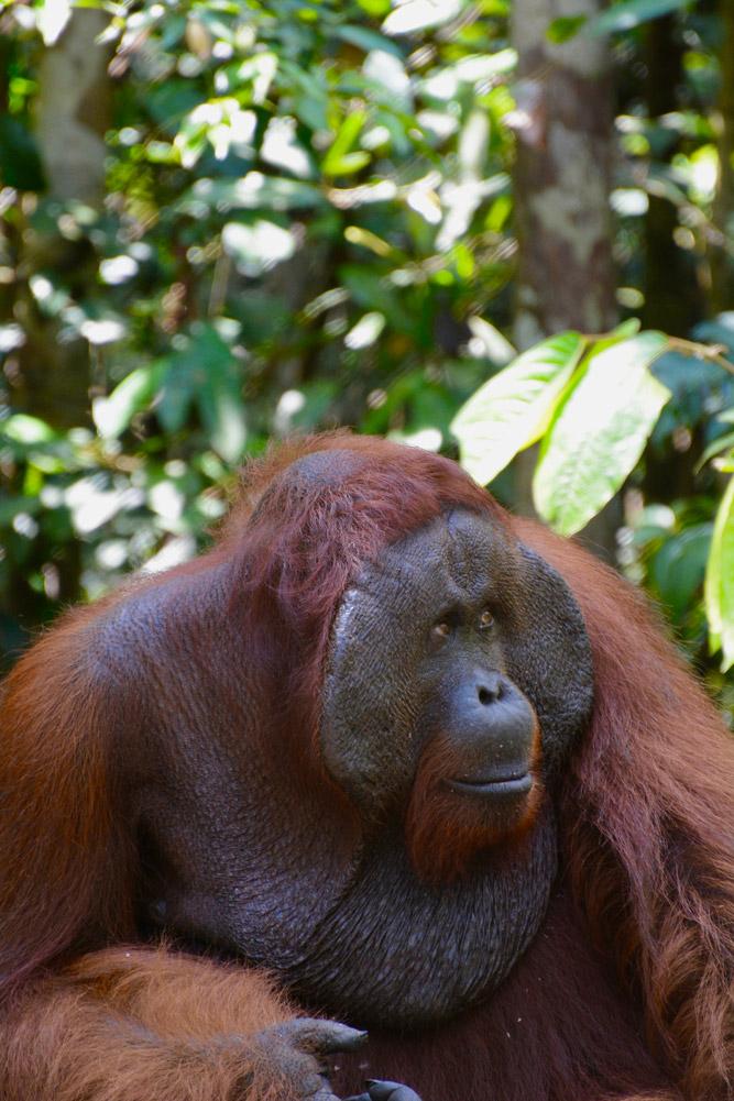 A closeup of the male orangutan's facial disc