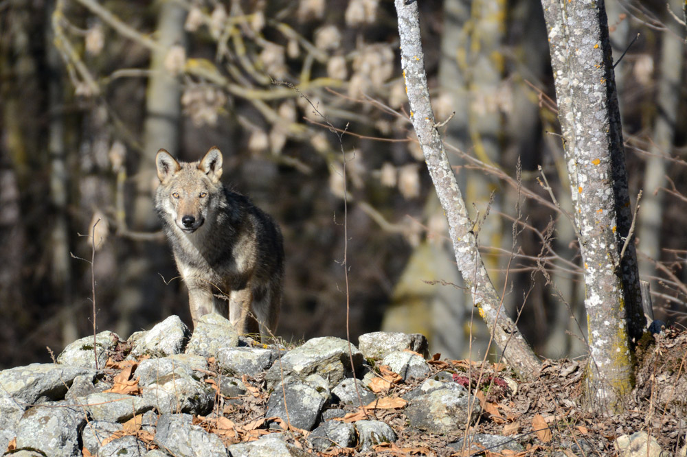 A wolf sighting in the Maritime Alps National Park - Parco Naturale Alpi Marittime