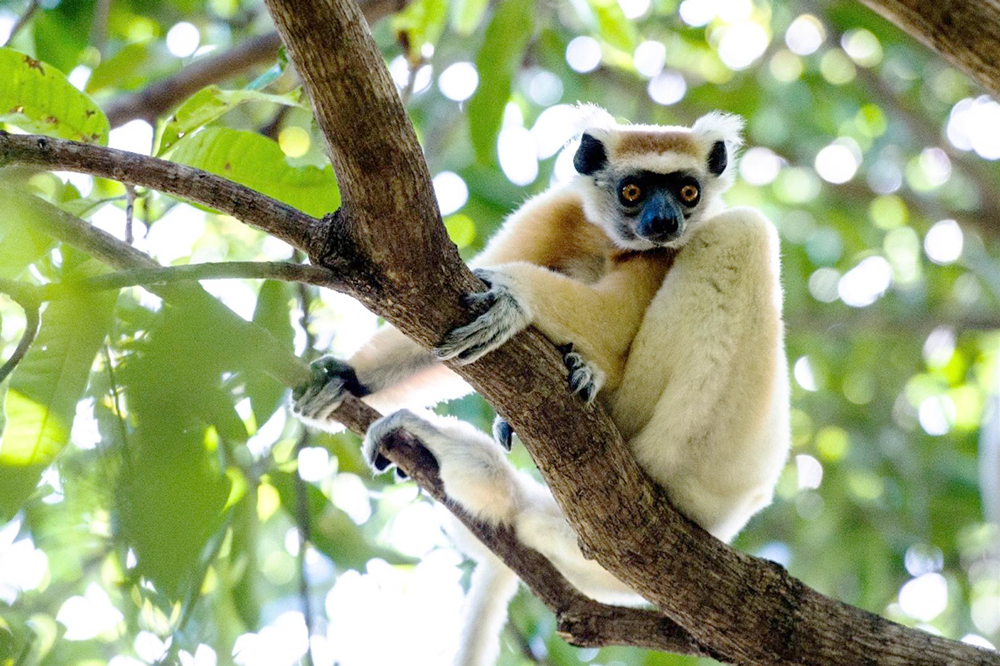 Miavana also offers the once in a lifetime experience of lemur trekking.