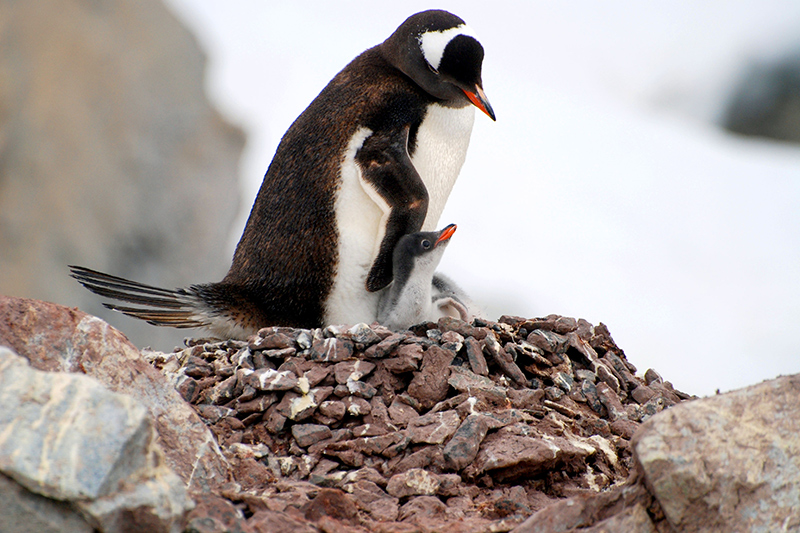 Gentoo penguins on Booth Island - Photo by Andrew Harper