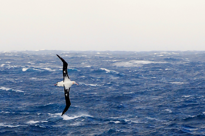 Albatross flying over the Drake Passage - Photo by Andrew Harper
