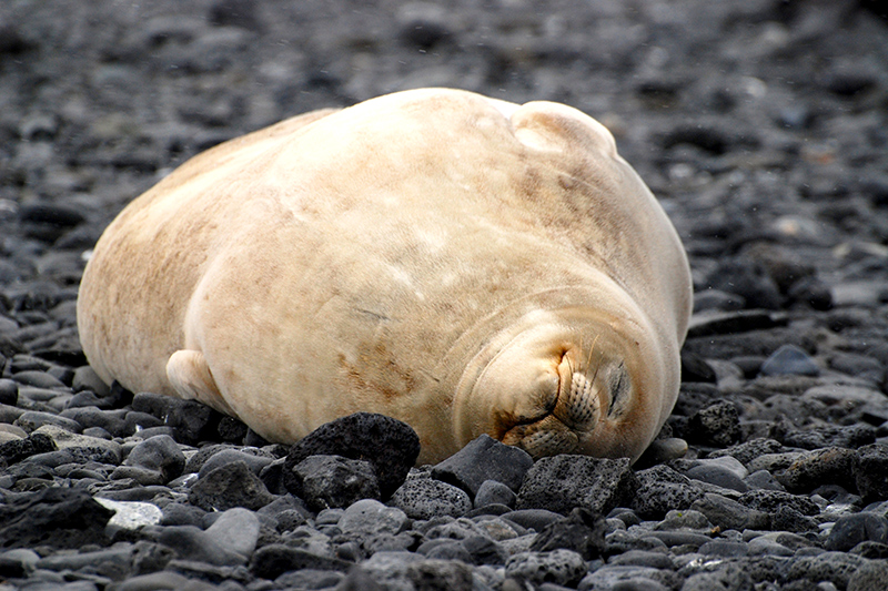 Crabeater seal at Brown Bluff - Photo by Andrew Harper