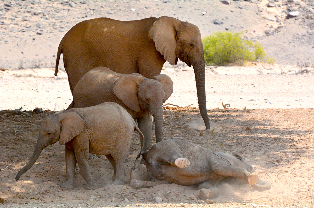 When we came across this family of desert-adapted elephants in the dry bed of the Hoanib River, one of the youngsters was enjoying a dust bath.
