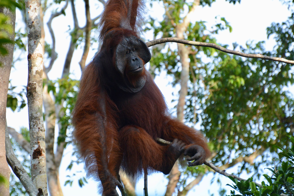 An adult male orangutan descends from the trees