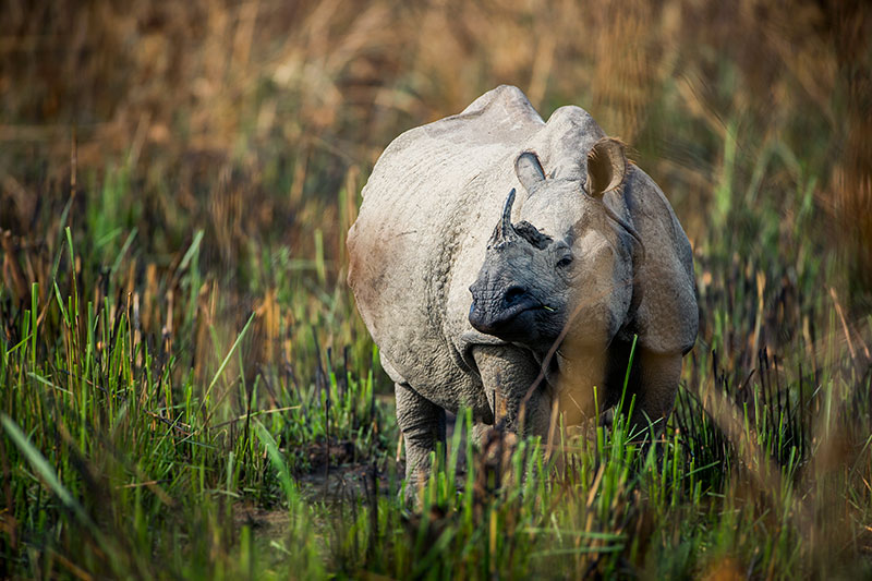 Indian rhino near Meghauli Serai, Chitwan National Park - © Taj Hotels Resorts and Palaces