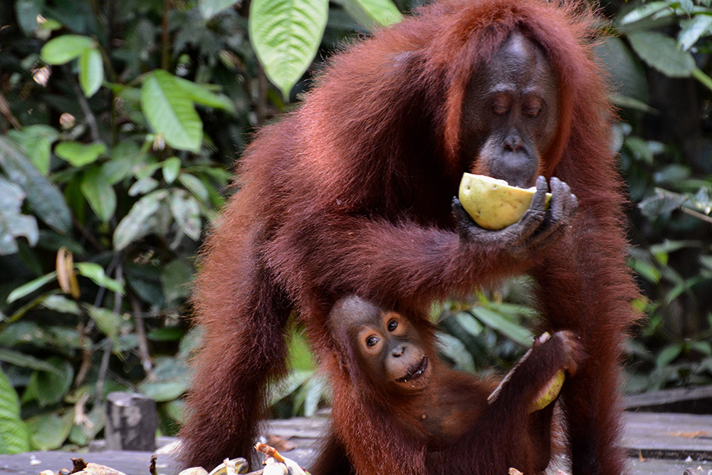 Orangutan mother and baby at the feeding station in Camp Leakey