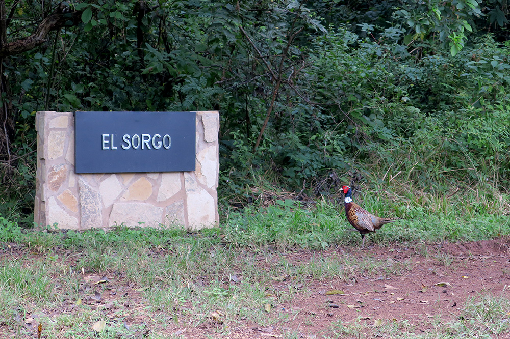 A pheasant on the grounds of Nekupe in Nandaime, Nicaragua