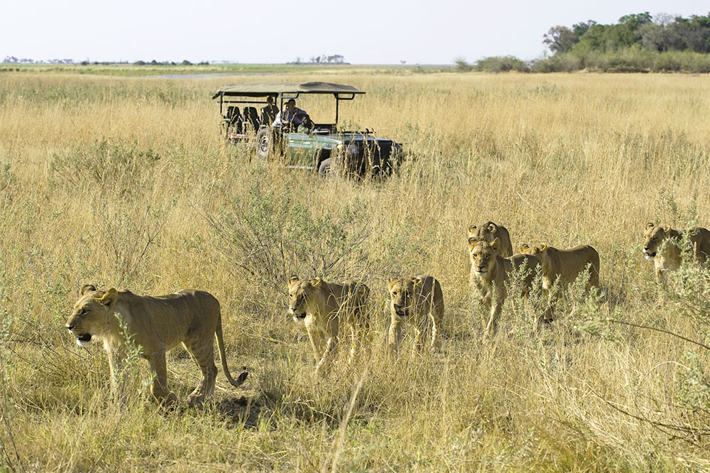 A lion safari at Zarafa Camp in Selinda Reserve, Botswana