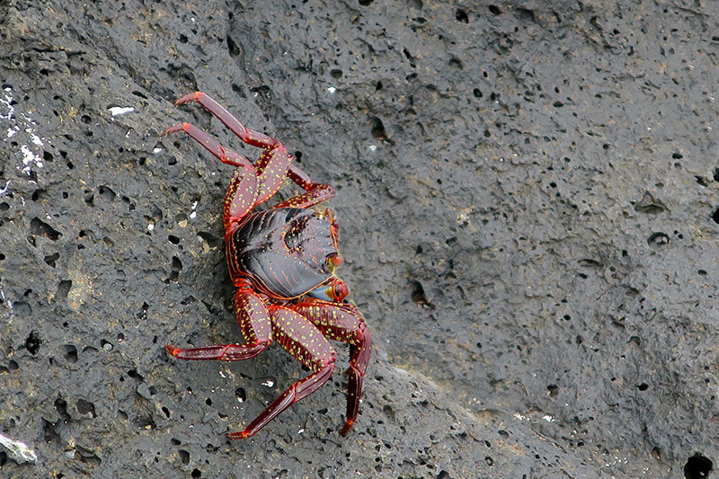 Sally lightfoot crab on North Seymour Island