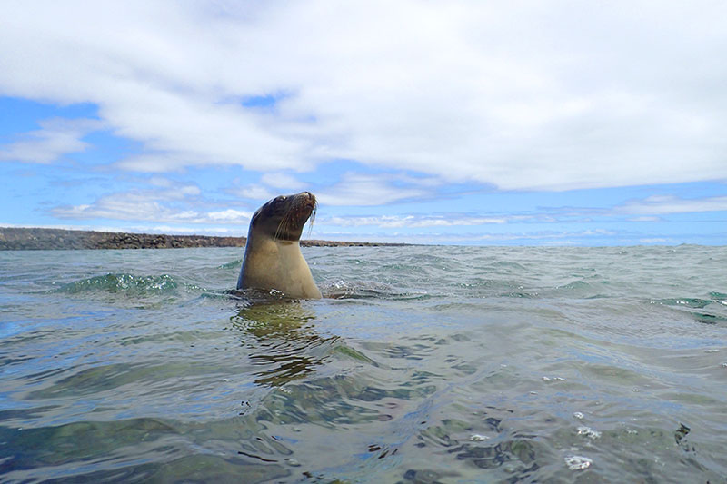 A sea lion comes up for air during a snorkeling excursion in the Galápagos