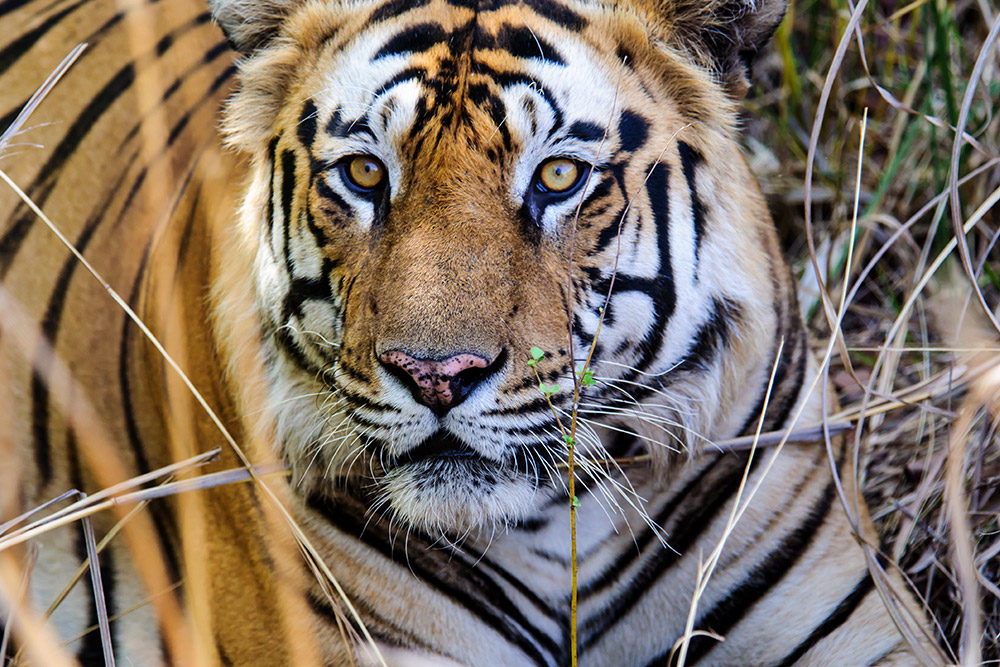 Tigers are a protected species in Kanha National Park, also known as the Kanha Tiger Reserve