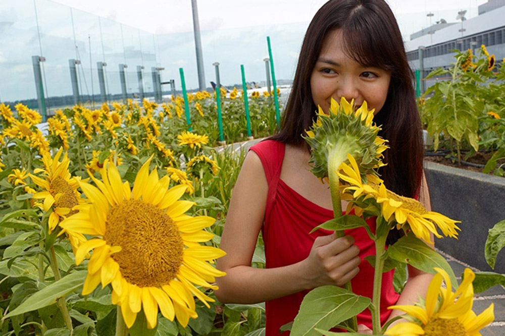 Sunflower Garden at Changi Airport, Singapore