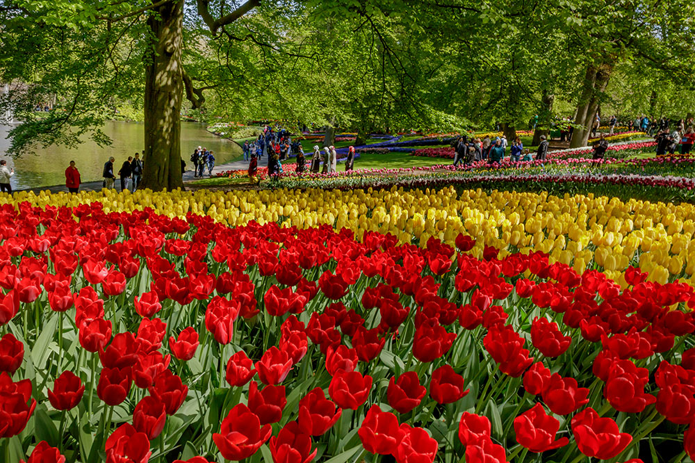 A sea of tulips at Keukenhof in Lisse