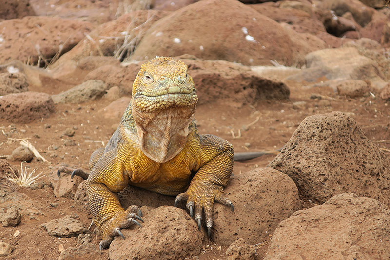 Yellow iguana on North Seymour Island