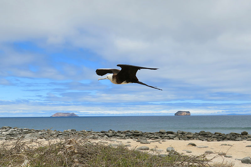 Young frigate bird on North Seymour Island
