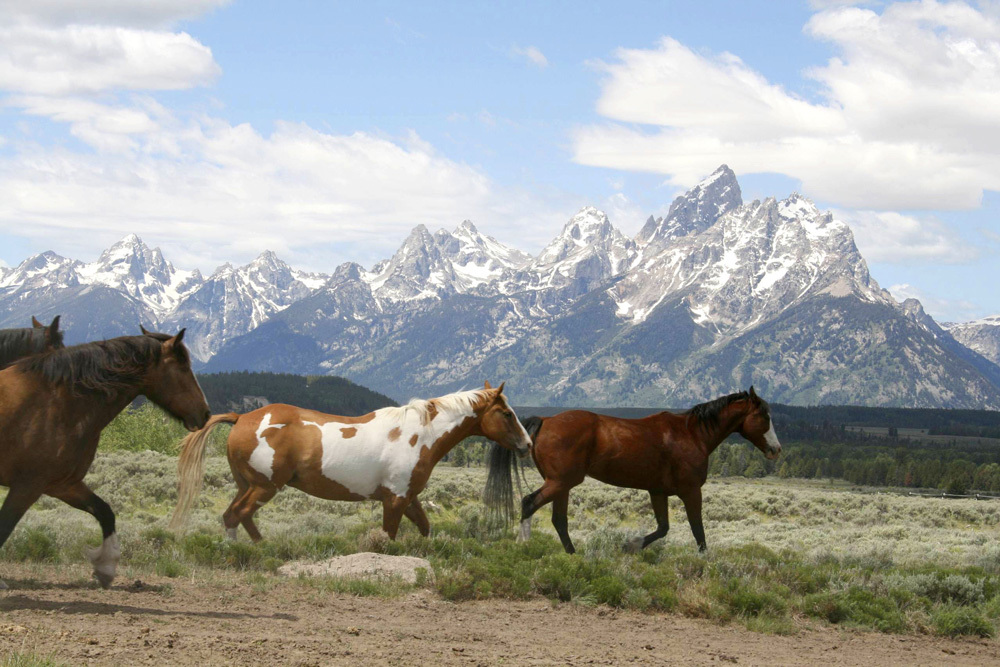 Wild mustangs in Grand Teton National Park