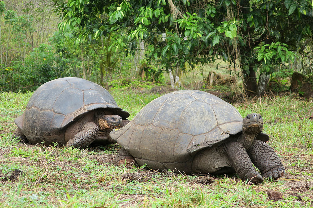 Galápagos giant tortoises at Rancho El Chato