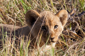 Lion cub in the Linyanti Concession of Botswana