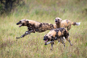 A trio of African Wild Dogs in the Linyanti Concession, Botswana