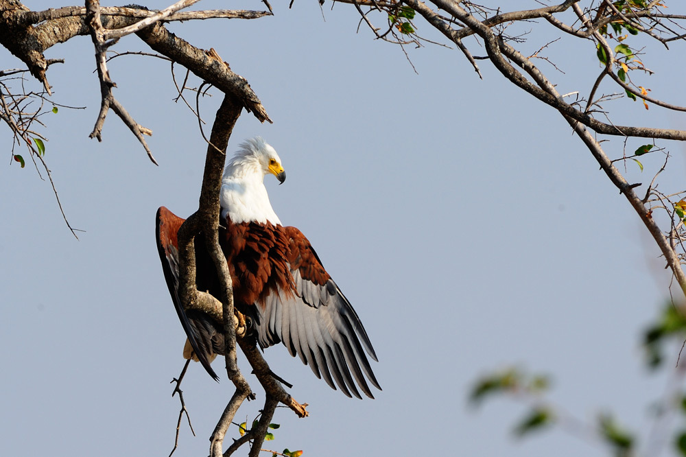 African fish eagle drying its wings