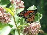 Monarch Butterflies presentation with Dr. Hoffman