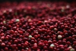 History of the Cranberry in Holliston & Sherborn