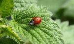 Red lady bug with black dots on green leaf