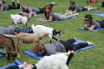 Goat Yoga with Chip-in Farm- Session 1