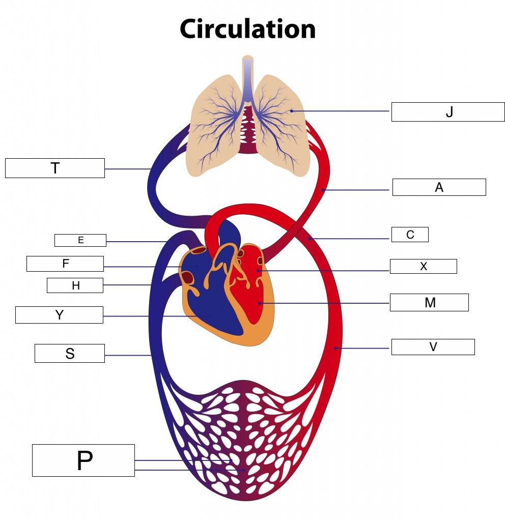 Pulmonary And Systemic Circulation Concept Map.Overview Of The Cardiovascular System Lesson 0390 Tqa Explorer
