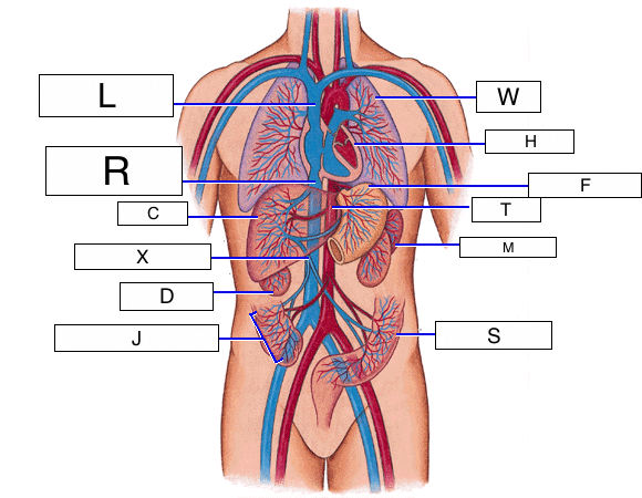 overview of the cardiovascular system (lesson 0390) - TQA explorer