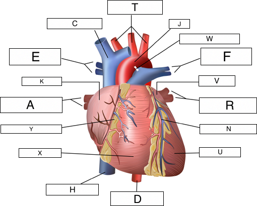 Overview of the cardiovascular system lesson 0390 tqa explorer v d f ccuart Gallery