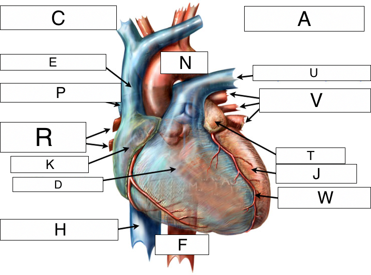 Overview Of The Cardiovascular System Lesson 0390 Tqa