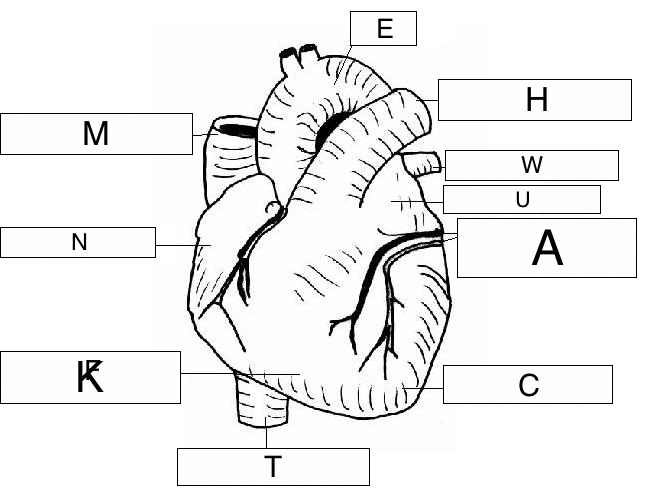 Overview Of The Cardiovascular System Lesson 0390