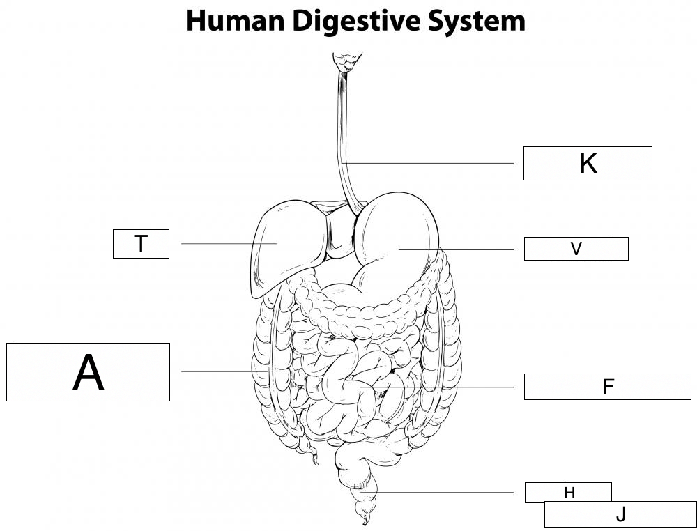 the diagram represents part of human digestive system