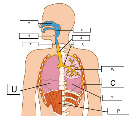 The respiratory system lesson 0393 tqa explorer which part of the diagram is the muscle that controls breathing ccuart Images