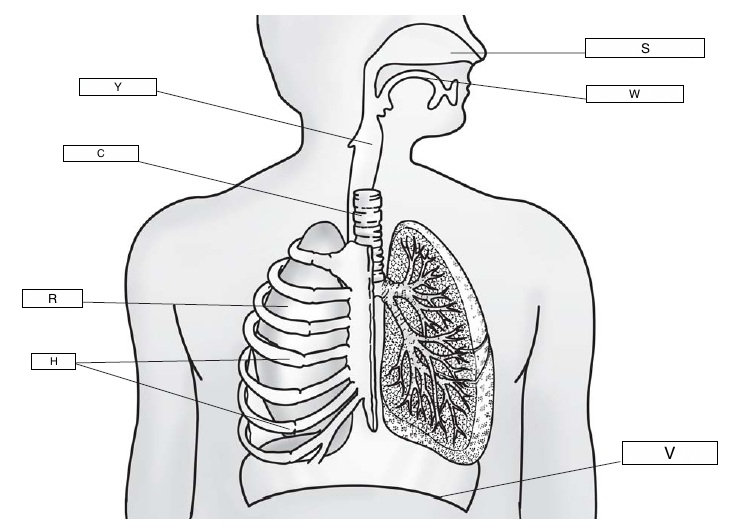 Lungs diagram not labelled product wiring diagrams the respiratory system lesson 0393 tqa explorer rh data allenai org labeled lung model real lungs ccuart Images
