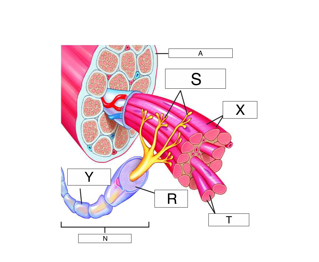 The Muscular System Lesson 0386 Tqa Explorer This Diagram Shows Muscles In Heart Which Label Myelin Sheath
