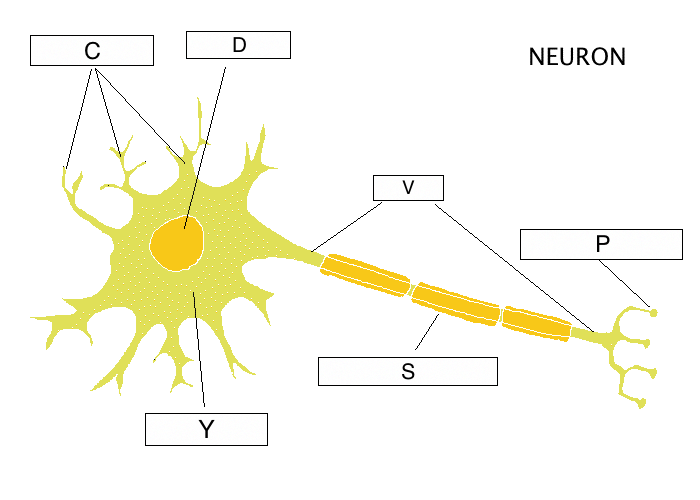 Parts of the nerve diagram diy enthusiasts wiring diagrams the nervous system lesson 0398 tqa explorer rh data allenai org back nerves diagram nerve cell diagram ccuart Image collections