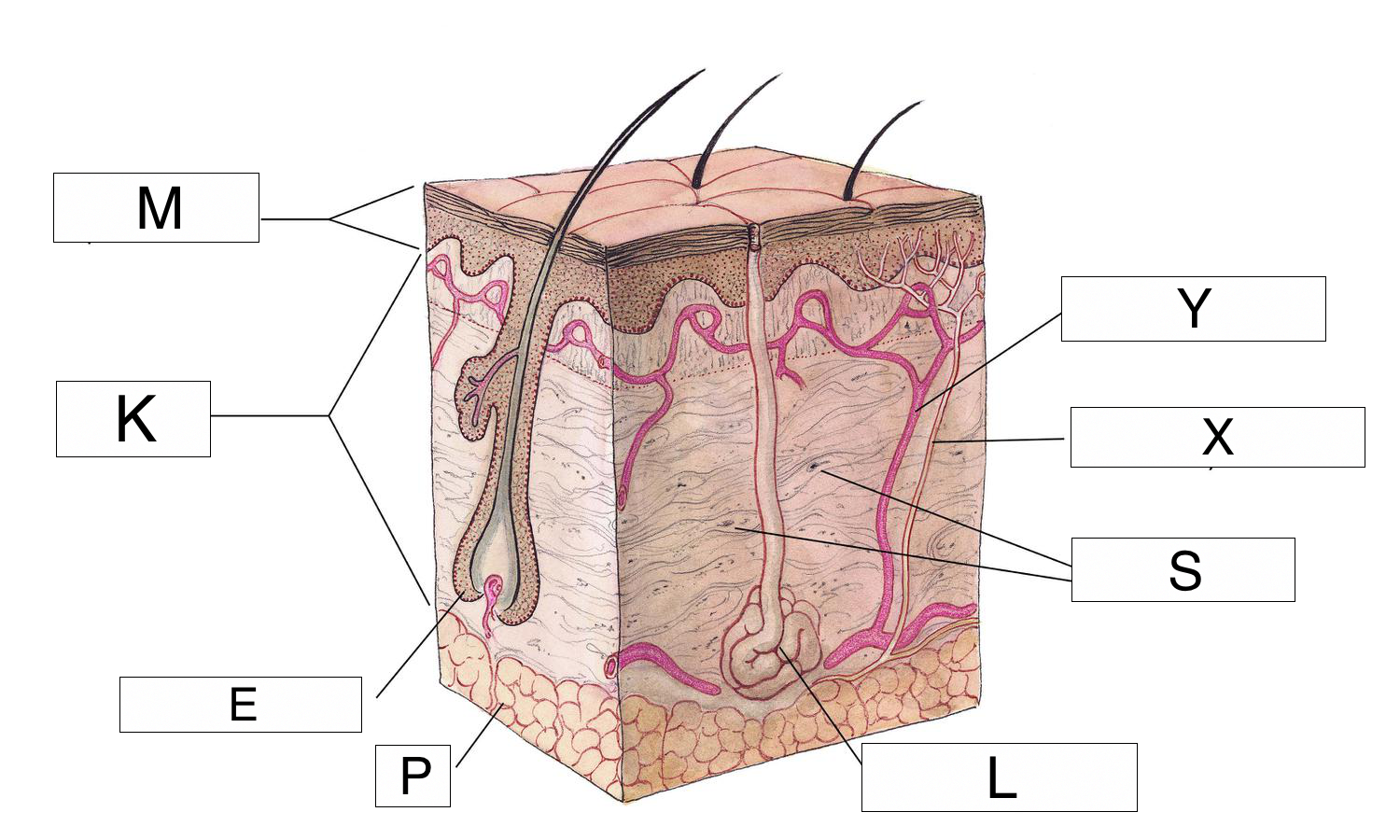 The integumentary system lesson 0384 tqa explorer questionimage pooptronica Image collections